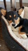 Corgi Puppies for sale in Winchester, MA 01890, USA. price: NA