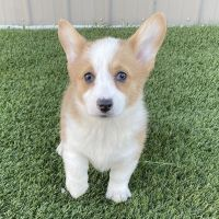 Corgi Puppies for sale in Laguna Beach, CA, USA. price: NA