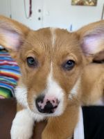 Corgi Puppies for sale in Miami Beach, FL, USA. price: NA