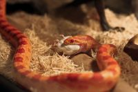 Corn Snake Reptiles for sale in Los Angeles, CA, USA. price: NA