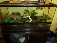 Corn Snake Reptiles for sale in Buhl, ID 83316, USA. price: NA
