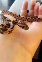 Corn Snake Reptiles Photos