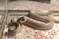 Corn Snake Reptiles for sale in Plymouth, MA, USA. price: NA