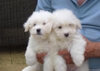 Coton De Tulear Puppies for sale in Downey, CA, USA. price: NA