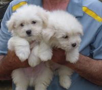 Coton De Tulear Puppies for sale in Rialto, CA, USA. price: NA