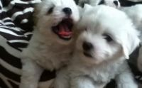 Coton De Tulear Puppies for sale in Pleasantville, PA 16341, USA. price: NA