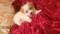 Coton De Tulear Puppies for sale in Oklahoma City, OK, USA. price: NA