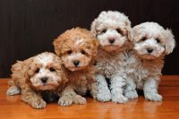Coton De Tulear Puppies for sale in Honolulu, HI, USA. price: NA