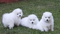 Coton De Tulear Puppies for sale in Boise, ID, USA. price: NA