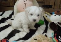 Coton De Tulear Puppies for sale in Garden Grove, CA, USA. price: NA
