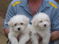 Coton De Tulear Puppies for sale in Angier, NC 27501, USA. price: NA