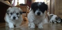 Coton De Tulear Puppies for sale in Indianapolis, IN, USA. price: NA