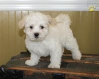 Coton De Tulear Puppies for sale in Montgomery, AL, USA. price: NA