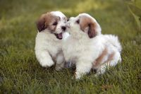 Coton De Tulear Puppies for sale in Salt Lake City, UT, USA. price: NA