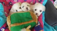 Coton De Tulear Puppies for sale in El Paso, TX, USA. price: NA
