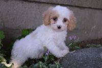 Coton De Tulear Puppies for sale in St. Louis, MO, USA. price: NA