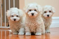 Coton De Tulear Puppies for sale in Martensdale, IA, USA. price: NA