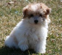 Coton De Tulear Puppies for sale in Mississippi State University, MS 39759, USA. price: NA