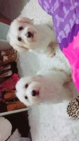 Coton De Tulear Puppies for sale in Fairfax County, VA, USA. price: NA