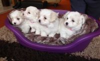 Coton De Tulear Puppies for sale in Des Moines, IA, USA. price: NA