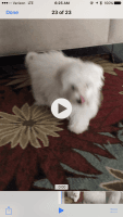 Coton De Tulear Puppies for sale in Homestead, FL 33033, USA. price: NA