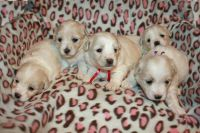 Coton De Tulear Puppies for sale in Wethersfield, CT 06109, USA. price: NA