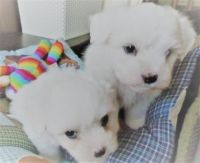 Coton De Tulear Puppies for sale in Washington, DC, USA. price: NA