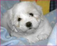 Coton De Tulear Puppies for sale in Chesapeake, VA, USA. price: NA