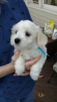 Coton De Tulear Puppies for sale in Kent, OH 44240, USA. price: NA