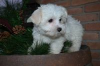 Coton De Tulear Puppies for sale in Canton, OH, USA. price: NA