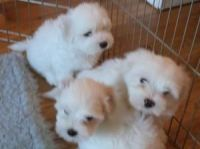 Coton De Tulear Puppies for sale in 58503 Rd 225, North Fork, CA 93643, USA. price: NA