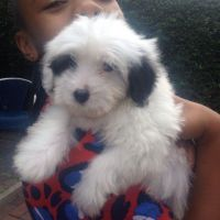 Coton De Tulear Puppies for sale in Los Angeles, CA 90012, USA. price: NA