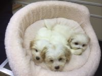 Coton De Tulear Puppies for sale in Nashville, TN, USA. price: NA