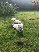 Coton De Tulear Puppies for sale in Anchorage, AK, USA. price: NA