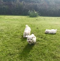 Coton De Tulear Puppies for sale in Los Angeles, CA 90001, USA. price: NA