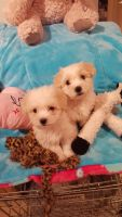 Coton De Tulear Puppies for sale in Atlanta, GA, USA. price: NA