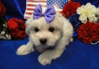 Coton De Tulear Puppies for sale in Bronx, NY, USA. price: NA