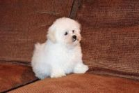 Coton De Tulear Puppies for sale in Palm Springs, CA 92262, USA. price: NA