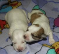 Coton De Tulear Puppies for sale in Rockford, MI, USA. price: NA