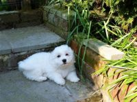 Coton De Tulear Puppies for sale in Cincinnati, OH, USA. price: NA