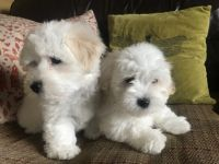 Coton De Tulear Puppies for sale in Clifton, NJ, USA. price: NA