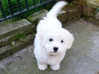 Coton De Tulear Puppies for sale in Boston, MA, USA. price: NA