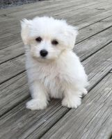 Coton De Tulear Puppies for sale in Marlborough, MA, USA. price: NA