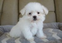 Coton De Tulear Puppies for sale in Green Bay, WI, USA. price: NA