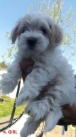 Coton De Tulear Puppies for sale in Charleston, SC, USA. price: NA