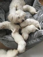 Coton De Tulear Puppies for sale in Dallas, TX, USA. price: NA