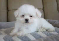 Coton De Tulear Puppies for sale in Eminence, IN, USA. price: NA
