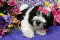 Coton De Tulear Puppies for sale in Houston, MS 38851, USA. price: NA