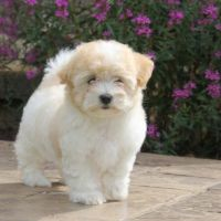 Coton De Tulear Puppies for sale in Black River Falls, WI 54615, USA. price: NA