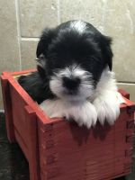 Coton De Tulear Puppies for sale in Winston-Salem, NC, USA. price: NA